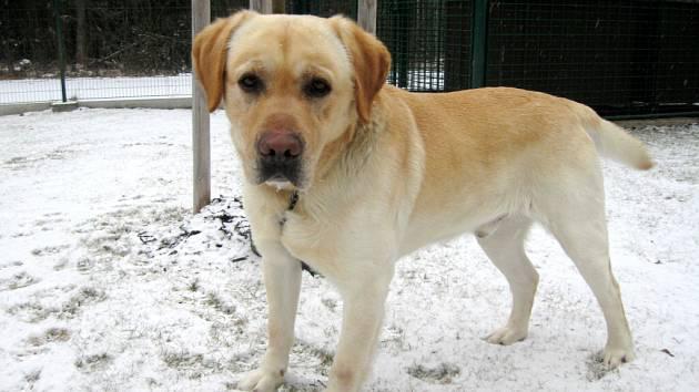 Labradorský retriever: jméno: Arny, pohlaví: pes, věk: 3 roky, barva: plavá, velikost v kohoutku: 55 cm. Robustní přátelský pes, dobře přijímající krmivo, vhodný jako společník do rodiny. Pokud bude chován trvale venku, potřebuje dobře zateplenou boudu. N