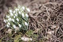 Sněženky - jeden ze symbolů postní doby.