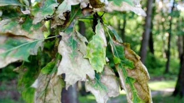 Povadlé a suché listy dubů kontrastující s ostatními stromy.