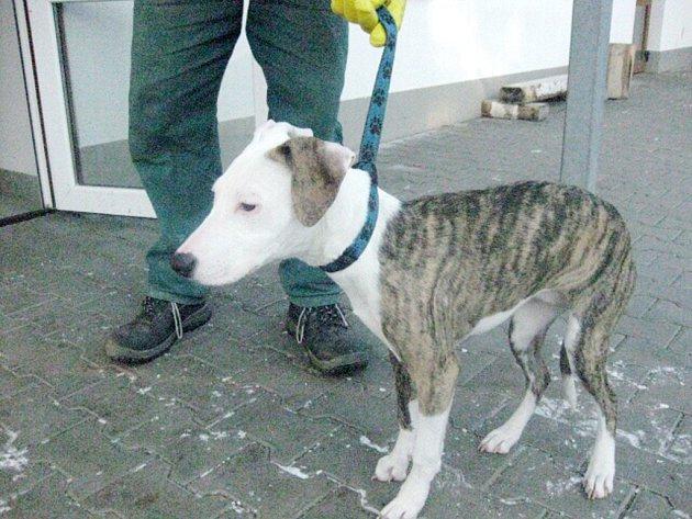 Tento strážníky odchycený pes skončil v útulku.