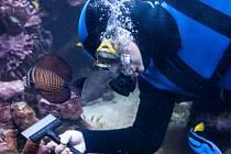 Potápěč při čištění akvárií v zoologické zahradě Dvůr Králové nad Labem.
