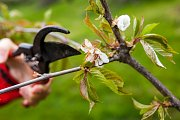 Zahrádkáře trápí ranní mrazy, které poškozují květy stromů.