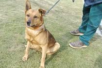 Kříženec: jméno: Hombre, pohlaví: pes, věk: 4 roky, barva: rezavá, velikost v kohoutku: 50 cm. Přátelský kříženec vhodný do klidného prostředí domku se zahradou, při setkání s jinými psy je hlučný, štěká.