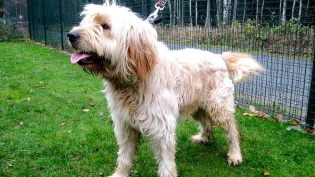 Kříženec: jméno: Santa, pohlaví: pes, věk: 1 rok, barva: krémová, velikost v kohoutku: 50 cm. Krásný mladý kříženec vzhledem připomínající Briarda. Je veselé a nekonfliktní povahy, vhodný pro aktivního majitele do domku se zahradou.