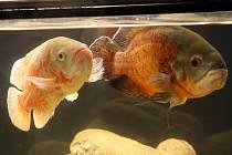 Výstava akvarijních ryb v Aldisu