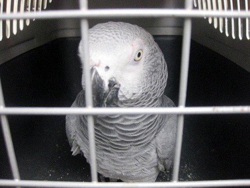 Odchycený papoušek Žako.