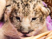 V Bioparku ve Štítu na Hradecku se narodila čtyřčata lva jihoafrického. Páru lvů narozených v roce 2014 Maxovi a Kikině se narodily dvě holky a dva kluci.
