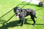 Kříženec: jméno: Fousek, pohlaví: pes, věk: 3 roky, barva: černá s bílou náprsenkou, velikost v kohoutku:50 cm. Velmi přátelský, vděčný, vhodný do klidného venkovského prostředí k domku se zahradou.