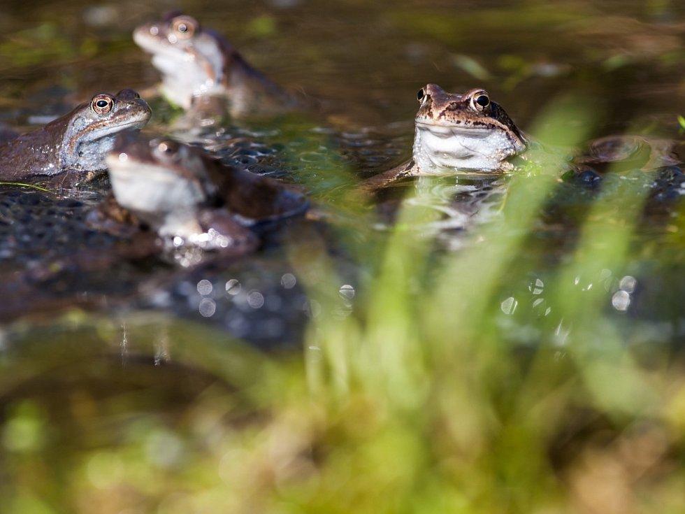 Žabí námluvy na Královéhradecku.