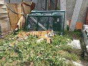 Chytání tygra ve Štítu.