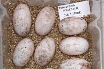Velikonoční snůška krokodýlích vajec