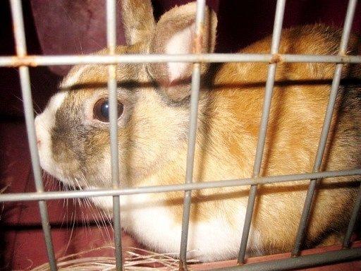 Nalezený zakrslý králíček po odchytu.