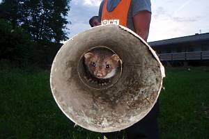 Z kotěte se vyklubala kuna. Hasiči jí pomohli na svobodu.