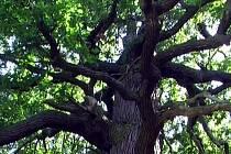 Převýšov, obec s dubem ve znaku