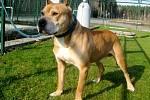 Americký pitbull teriér (kohoutková výška 50cm, hmotnost 25 kg), jméno: Brut, pohlaví: pes, věk: 7 let, barva: světle hnědá. K lidem mírumilovný, vhodný pro zodpovědného člověka, který má s chovem tohoto plemene zkušenosti. Nesnášenlivý k ostatním psům.