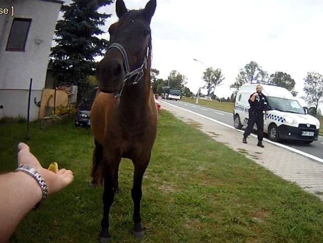 Odchytáři městské policie zachraňovali srnku a koně.