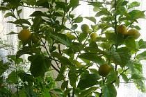 Dozrávající citrony Jany Mencákové ze Lhoty pod Libčany.