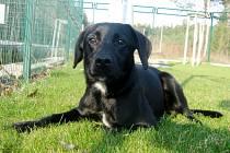 Kříženec: jméno: Aleš, pohlaví: pes, věk: 9 měsíců, barva: černá, velikost v kohoutku: 35 cm. Veselý, pubertální mladík. Vhodný pro sportovně založeného majitele k domku se zahradou.