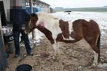 Zraněný kůň.