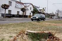 Pařezy po kácení stromů v hradeckých Malšovicích.