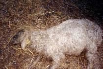 Mrtvé ovce na pastvinách.