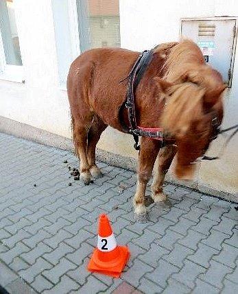 Splašený kůň po odchytu.
