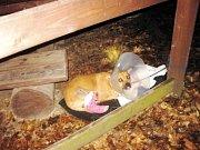 Kříženec kanárské dogy, jméno: Mumínek, pohlaví: pes, věk: 2,5 roku, barva: žíhaná, velikost v kohoutku: 60 centimetrů. Aktivní, nadřazený vůči jiným, vyžaduje jištění náhubkem. Pro zkušeného, zdatného. Ohlídá usedlost na samotě. Je chytrý, kamarádský.