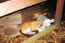 Zraněný pes ponechaný napospas svému osudu u hradeckého lesního hřbitova.