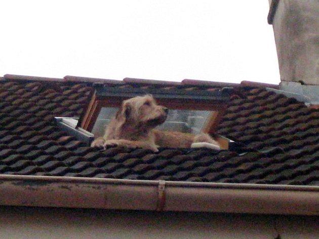 Nebezpečný pohyb psa na střeše jednoho z domů v centru Hradce Králové.
