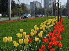 Rušnou třídu ozdobily v krajském městě stovky tulipánů.