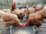 CO BYLO DŘÍV? Dřív byla vejce za dvě koruny a lidé se neprali na tržnicích o kuřice. Situace by se měla podle drůbežáren vrátit k normálu v dubnu. Na původní ceny už však vejce neklesnou.