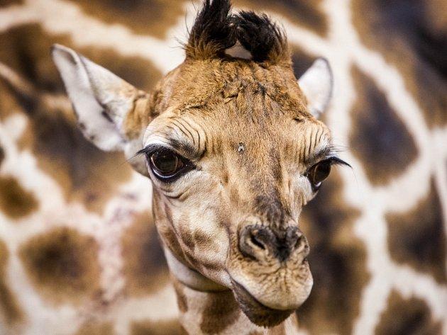 Žirafí mládě - samec Vitali v královédvorské zoologické zahradě.