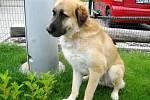 Středoasijský  pastevecký pes: jméno: Leoš, pohlaví: pes, věk: 5 let, barva: světle hnědá, velikost v kohoutku: 65 cm. Vynikající hlídač. Přátelský, samotářský, tvrdohlavý. Hustá srst umožňuje chov v oplocené zahradě. Nesnášenlivý k jiným psům, feny snese