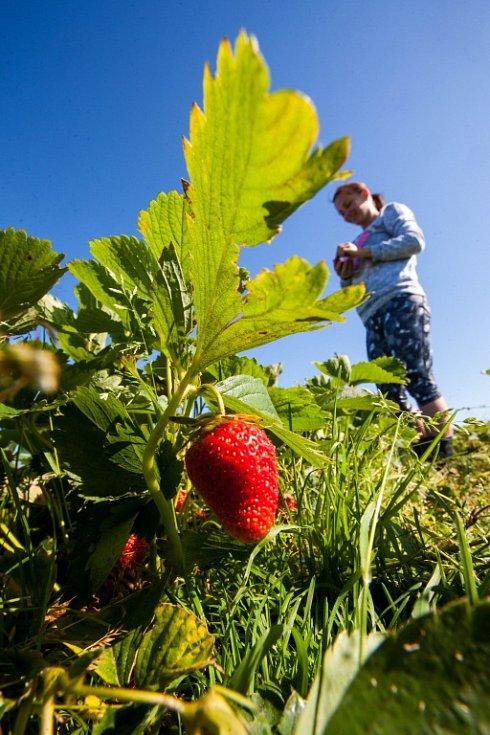 Samosběr jahod na plantáži.