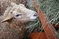 I opuštěná hospodářská zvířata potřebují pomoc