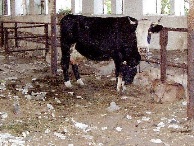 Nešťastná kráva a její telátko žijí v objektu plném trosek