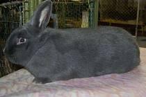 Šampion mezi králíky chovatele Adama Bomanna z Hazlova získal 97 bodů ze sta možných