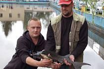 Na vodním koupališti Riviéra ve Velké Hleďsebi se sešlo čtyřiašedesát rybářů nejen ze západních Čech. Soutěžili zde o to, kdo nachytá nejdelší ryby. Podařilo se jim chytiti i jesetera.