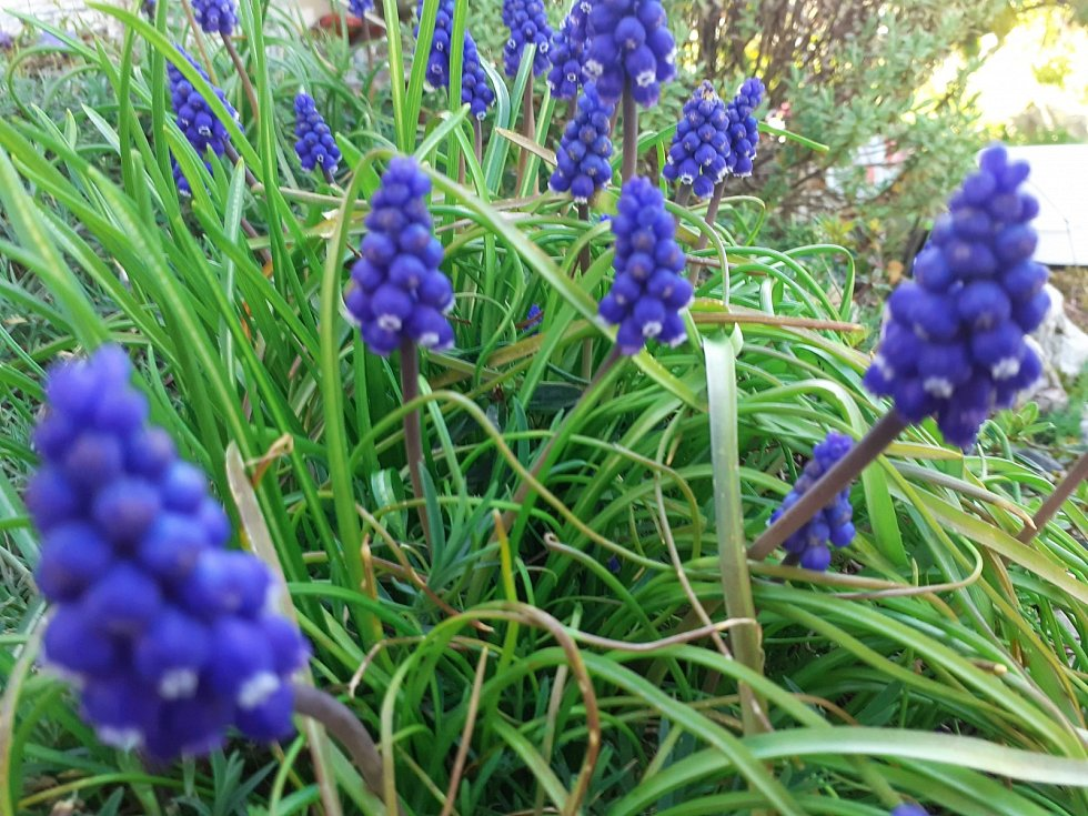 Modřenec je rod jednoděložných rostlin z čeledi chřestovitých.