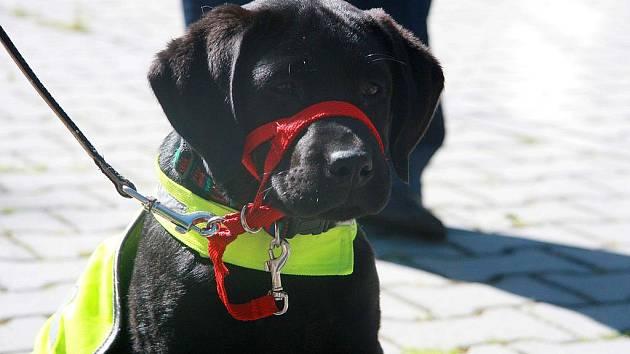 Organizace Pomocné tlapky, která cvičí asistenční psy a jednoho již umístila i do Chebu, slaví letos desáté výročí založení.