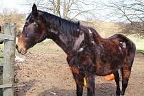 Kůň byl značně pohublý, téměř jen kostra potažená kůží, na srsti měl olysalá místa.