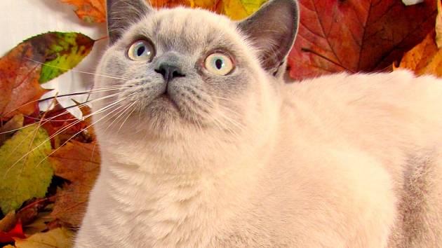 Snížek je britský colourpoint kocourek, náš upovídaný mazel.