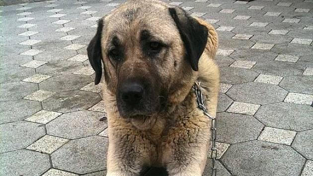 O pomoc prosí Radovan Caran z Ostrohu, jehož host od 20. října postrádá svého psa.