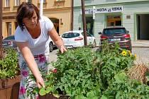 MLUVČÍ chebského městského úřadu Simona Liptáková ukazovala, jaké všechny bylinky zdobí náměstí Krále Jiřího z Poděbrad.