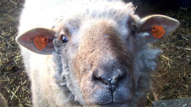 JEDNU STAROST méně budou mít chovatelé ovcí. Svůj chov od příštího roku nebudou muset nechat očkovat proti katarální horečce.
