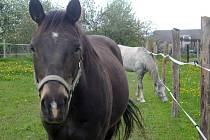 DVA z odcizených koní, po kterých jejich majitelé dlouho pátrali. Nyní se snad dočkají jejich návratu domů.