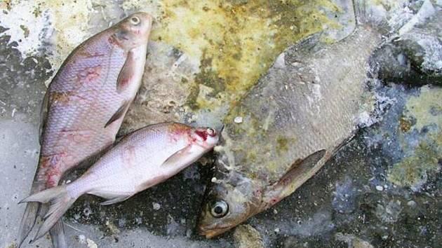 RYBÁŘI JSOU UŽ z kormoránů nešťastní. Těžce redukovatelné množství ptáků jim přidělává práci. Kormoráni totiž zlikvidují téměř víc ryb, než stačí rybáři vysadit.