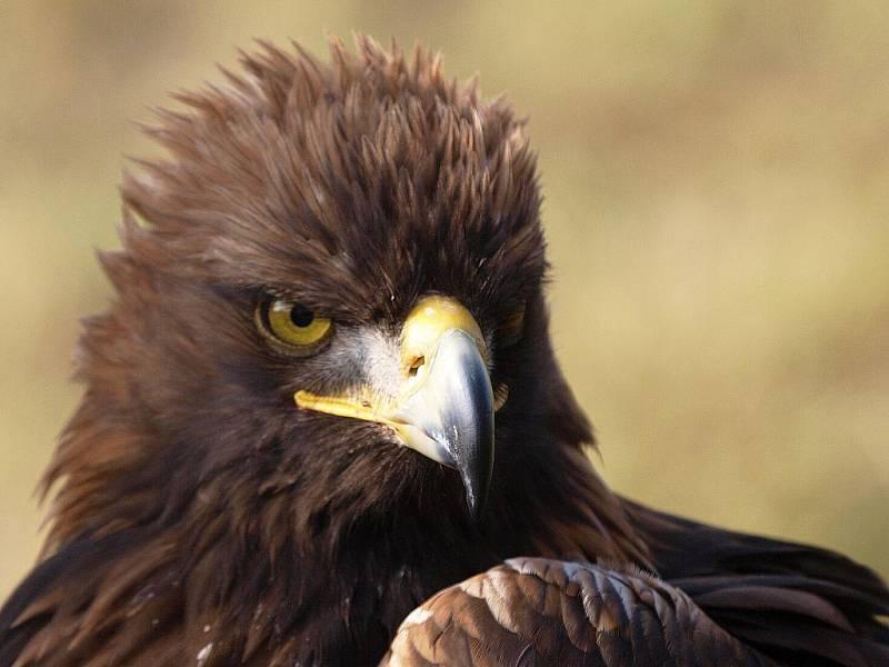 OREL. Sokolníci používají k lovu také orla skalního. Naposledy se lovci sešli ve Františkových Lázních.