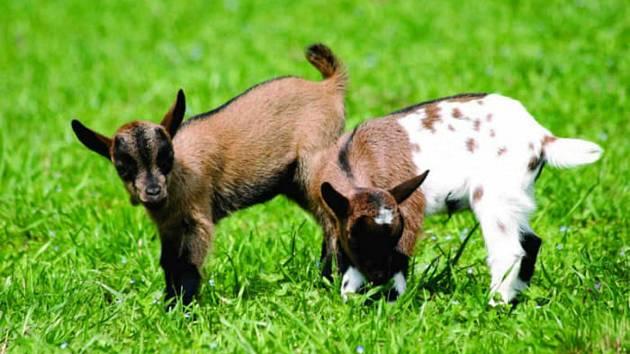 Tyto krásné zakrslé kozy rozšíří zvířecí rodinku v parku Boheminium.