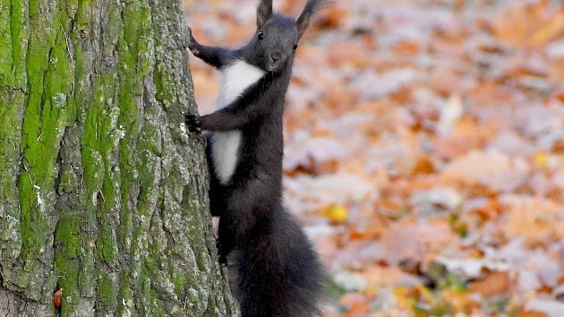 Každý rok na podzim se návštěvníci setkávají ve Františkových Lázních s tím, že k nim přiběhnou veverky, které loudí jídlo. Veverky se teď prohánějí i v městských sadech v Chebu.